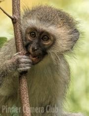 Lewis Wasserstein - Vervet Monkey by Lew Wasserstein