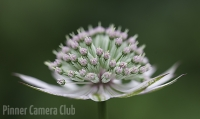 1_ASTRANTIA by Angela Rogers.jpg