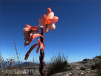 3_FYNBOS ON TABLE MOUNTAIN by Les Spitz.jpg