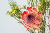 Peter Robin - PROTEA by Peter Robin