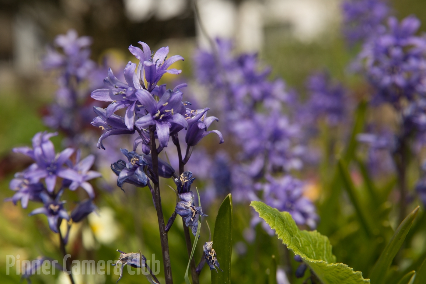 14 . BLUEBELLS by Peter Robin
