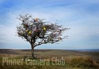 Les Spitz - Dartmoor FlowerTree