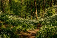 Tim Dowd - Path through the Wild Garlic - Tim Dowd (1)