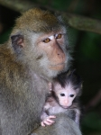 VERONICA HILL - MACAQUE MOTHER AND INFANT