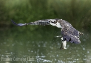 Martin Roberts - Osprey with Fish by Martin Roberts small-Edit