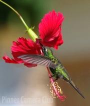 Veronica Hill - Cuban Emerald Hummingbird By Veronica Hill