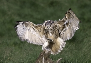Martin Roberts - EAGLE OWL LANDING by Martin Roberts-small Edit