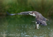OSPREY WITH FISH by Martin Roberts