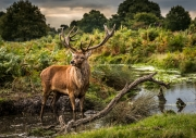 Tim Dowd - Stag in the mud pool by Tim Dowd