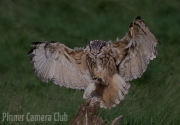 Martin Roberts - EAGLE OWL LANDING by Martin Roberts