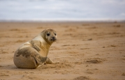 Angela Rogers - SEAL PUP by Angela Rogers