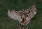 Martin Roberts - EAGLE OWL LANDING by Martin Roberts