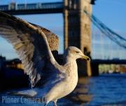 Judi Saunders - 3_Gull at Tower Bridge by Judi Saunders