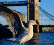 Judi Saunders - 3_Gull at Tower Bridge by Judi Saunders