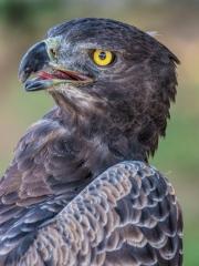 Lewis Wasserstein - Martial Eagle by Lew Wasserstein