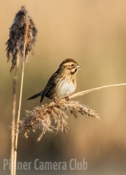 Roger Stelfox - REED BUNTING by Roger Stelfox