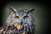 Simon Mee - Eagle Owl Portrait