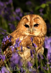 Simon Mee - Tawny Owl in Bluebells