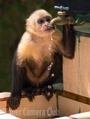 Thirsty White Faced Monkey By Veronica Hill