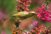 Sunbird Feeding On Nectar by Les Spitz