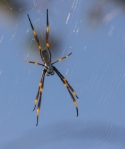 The Golden Orb Waits for Lunch by Steve Cohen