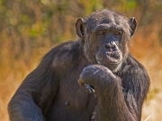 Thoughful Primate by Lewis Wasserstein