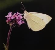 Nectar Feeder 19 by Steve Cohen