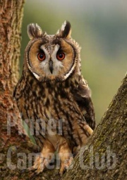 LONG-EARED-OWL-by-Simon-Mee
