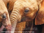 ORPHAN-ELEPHANTS-KENYA-by-Larry-Hurst