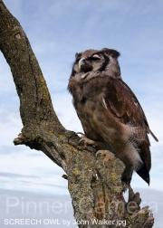 SCREECH-OWL-by-John-Walker