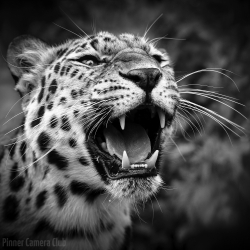 Natalie-Levy-PDI-Roar-Of-The-Wild-by-Natalie-Levy