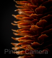 Natalie-Levy-SPRUCE-PINE-CONE-by-Natalie-Levy
