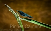 Banded-Demoiselle-Fly-by-Kevan-Rosendale