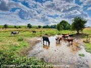 Constable-Colne-River-Cows-by-Jerry-Harwood