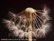DANDELION-CLOCK-by-Terry-Blackman