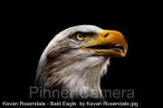 Kevan-Rosendale-Bald-Eagle-by-Kevan-Rosendale