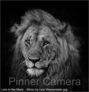 Lion-in-the-Mara-Mono-by-Lew-Wasserstein