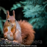 RED-SQUIRREL-ON-PINE-LOG-by-Natalie-Levy