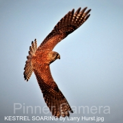 1_KESTREL-SOARING-by-Larry-Hurst