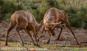 RUTTING-DEER-by-Colin-Sharp