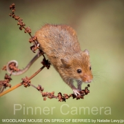 WOODLAND-MOUSE-ON-SPRIG-OF-BERRIES-by-Natalie-Levy