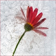 ARGYRANTHEMUM-IN-ICE-by-Les-Spitz