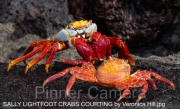SALLY-LIGHTFOOT-CRABS-COURTING-by-Veronica-Hill