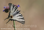 SCARCE-SWALLOWTAIL-by-Larry-Hurst