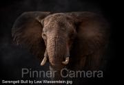 Serengeti-Bull-by-Lew-Wasserstein