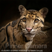 CLOUDED-LEOPARD-PORTRAIT-by-Natalie-Levy