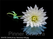 WHITE-DAHLIA-by-Veronica-Hill
