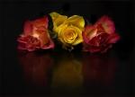 20 Roses In Still Life