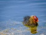 46 Coot Chick