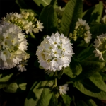 53 White Flowers